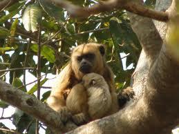 singes-hurleurs